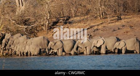 Elephant herd drink Chobe Botswana safari Africa - Stock Photo