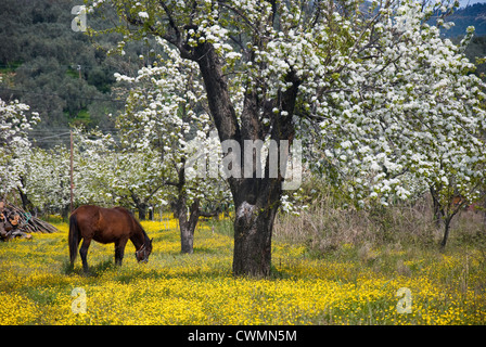 A horse grazing on a yellow-blossomed meadow beneath blossoming pear trees (Pelion peninsula, Thessaly, Greece) - Stock Photo