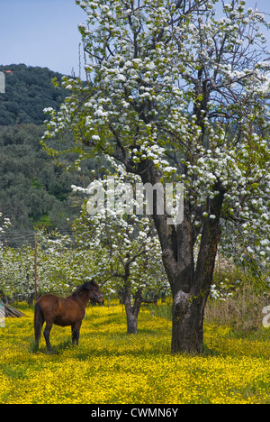 A horse standing on a yellow-blossomed meadow beneath blossoming pear trees (Pelion peninsula, Thessaly, Greece) - Stock Photo