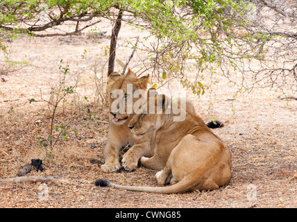 An adult female lion (Panthera Leo) and her adolescent male cub resting in the selous Game reserve, Tanzania Africa - Stock Photo