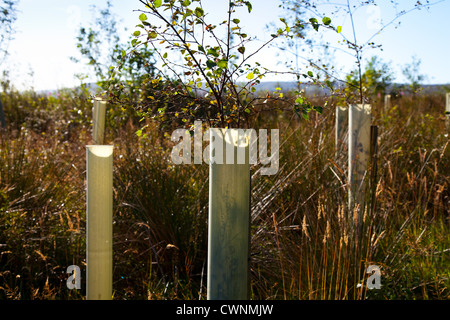 Silver Birch sapling. Young trees in leaf, protected by plastic tree tubes,  growing in forestry Plantation, North - Stock Photo
