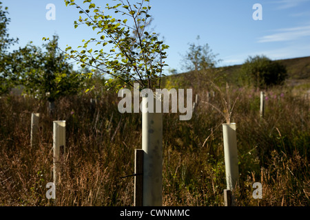 Silver Birch saplings. Young trees in leaf growing in plastic tree tubes, Plantation, North Yorkshire Moors, Garsdale, - Stock Photo