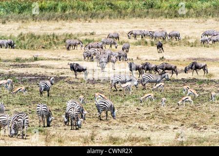 NGORONGORO CONSERVATIONAL AREA, Tanzania - Zebras, Thomson's gazelles, and wildebeest graze in a marshy section - Stock Photo
