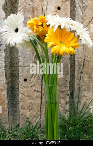 Gerbera daisies in vase - Stock Photo