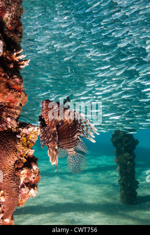 A Common Lionfish underneat a manmade jetty surrounded by silversides - Stock Photo