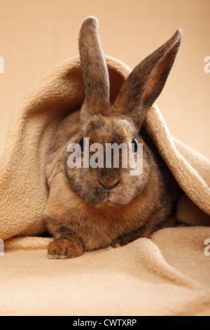 Kleinrex / Rex Bunny - Stock Photo