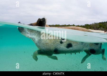 A feral pig swims in the clear waters of the Bahamas at Staniel Cay to greet a boat full of tourists. - Stock Photo