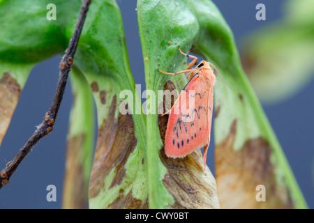 Rosy Footman Moth; Miltochrista miniata; Cornwall; UK; summer - Stock Photo