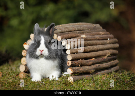 lionhead rabbit - Stock Photo
