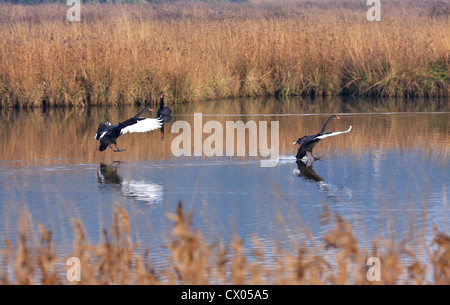 Two Black Swans Cygnus atratus about to land on water - Stock Photo
