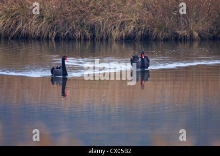 Two Black Swans Cygnus atratus swimming on water - Stock Photo