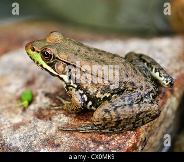 Common water frog on a stone - Stock Photo