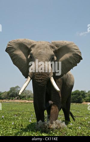 Elephant bull in mock charge, Mana Pools, Zimbabwe - Stock Photo