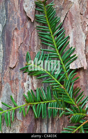 Pacific (Western) Yew branch against bark 'Taxus brevifolia' - Stock Photo