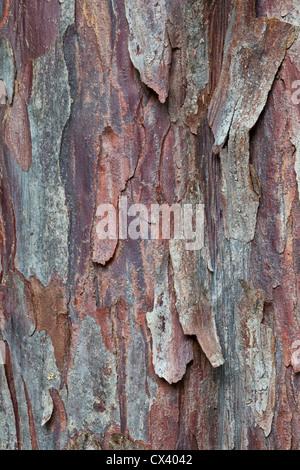 Bark 'Pacific  (Western) Yew'  tree 'Taxus brevifolia' - Stock Photo