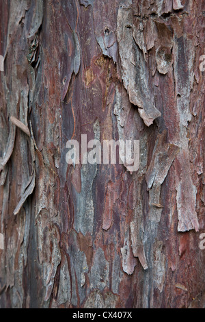 Bark 'Pacific  (Western) Yew ' tree 'Taxus brevifolia'. - Stock Photo
