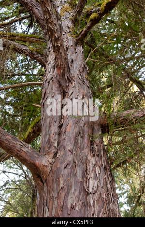 Pacific (Western) Yew tree, looking upward, 'Taxus brevifolia'. - Stock Photo