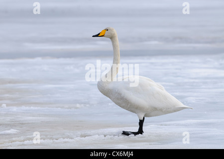 Whooper swan on ice on a frozen lake in Finland - Stock Photo