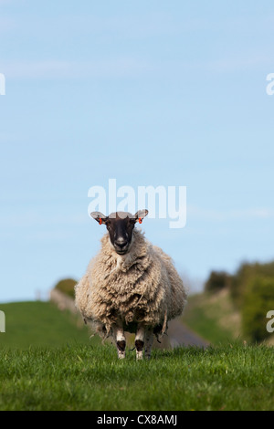 A Lone Sheep Standing In A Grass Field; Northumberland, England - Stock Photo