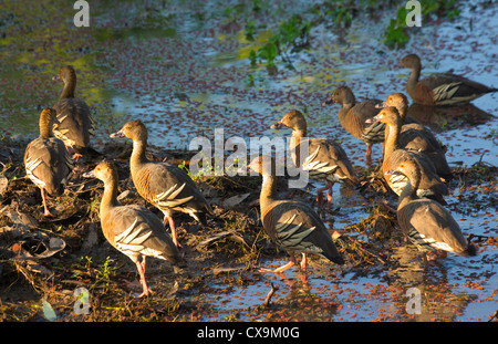 Flock of Plumed Whistling Ducks, Dendrocygna eytoni, Kakadu National Park, Australia - Stock Photo