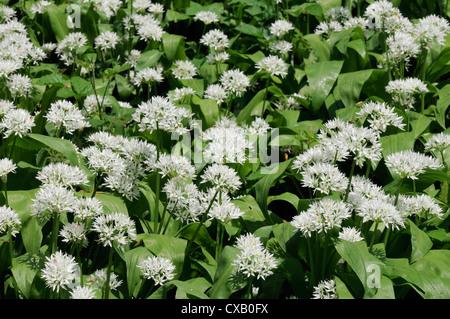 Wild garlic (ramsons) (Allium ursinum) carpeting woodland floor, Wiltshire, England, United Kingdom, Europe - Stock Photo
