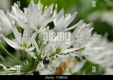 Close-up of wild garlic (ramsons) (Allium ursinum) carpeting woodland floor, Wiltshire, England, United Kingdom, - Stock Photo