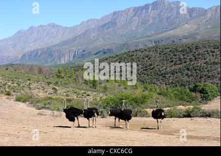 Ostriches, Swartberg, South Africa, Africa - Stock Photo