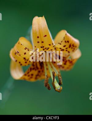 Tiger lily (Columbian lily) (Oregon lily) (Lilium columbianum), Idaho Panhandle National Forests, Idaho - Stock Photo