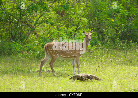 Ceylon spotted deer hind and Land monitor lizard, Yala National Park, Sri Lanka, Asia - Stock Photo