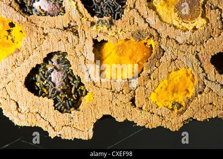 A close up of a colony of Red Mason bees - Stock Photo