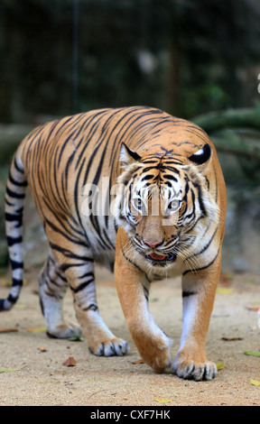 Malaysian tiger (Panthera tigris malayensis) at Melaka Zoo in Malaysia - Stock Photo