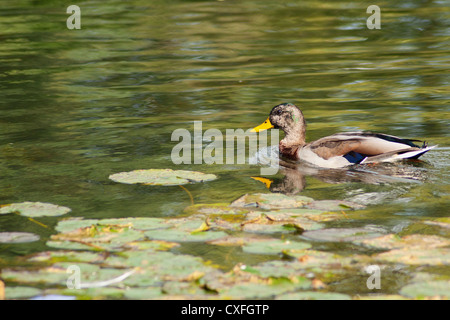 Male Mallard Duck Swimming in water among Lilly Pads - Stock Photo