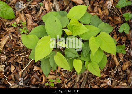 Japanese knotweed Fallopia japonica regrowth of plants after herbicide application - Stock Photo