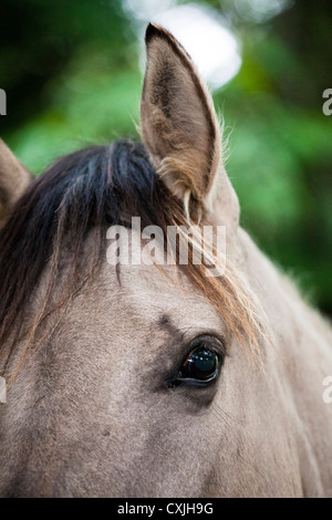 Konik horse (Equus caballus) - Stock Photo