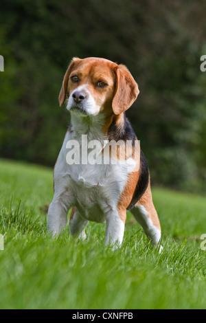 Tricolour Beagle dog in garden - Stock Photo