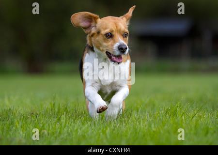 Tricolour Beagle dog running in garden - Stock Photo