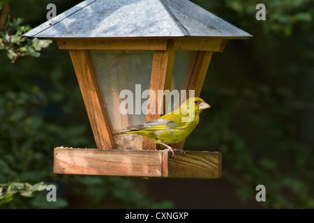 European Greenfinch (Carduelis chloris) feeding from bird feeder in garden, Belgium - Stock Photo