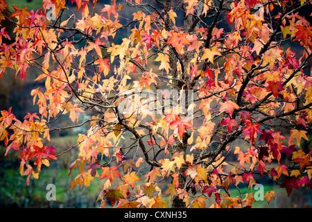 Liquidambar (Liquidambar styraciflua). Leaves in autumn. - Stock Photo