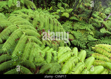Elk284-2343 Hawaii, Big Island, Volcanoes National Park, Thurston Lava Tube, ferns - Stock Photo