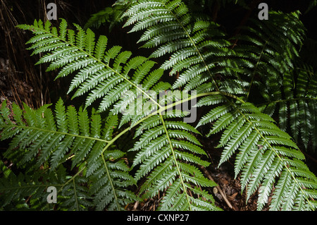 Elk284-2347 Hawaii, Big Island, Volcanoes National Park, Thurston Lava Tube, fern - Stock Photo