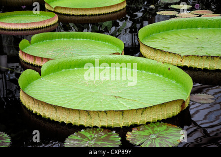 victoria cruziana leaves santa cruz water lily leaf giant water lily water ponds nymphaea lilies pads green red - Stock Photo