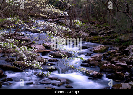 North America, USA, Tennessee, Smoky Mountain National Park. Spring in the smokies with Dogwood tree over rapids - Stock Photo