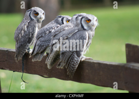 Scops owls sitting on fence in England - Stock Photo