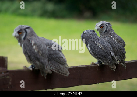 A parliament of scops owls sitting on fence in England - Stock Photo
