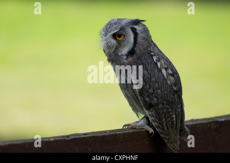 Scops owl sitting in fence in England - Stock Photo