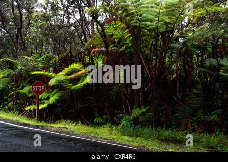 Road through the rain forest near Thurston Lava Tube, Hawai'i Volcanoes National Park, Big Island, Hawaii, USA - Stock Photo