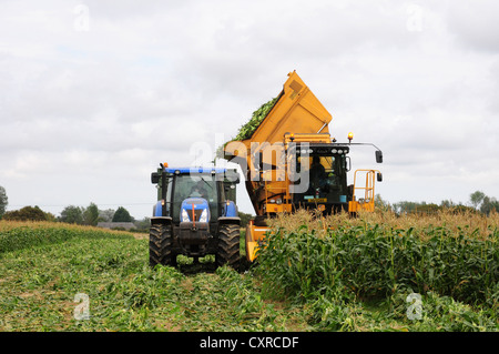 Tipping Sweetcorn cobs from combine tank to trailer. - Stock Photo