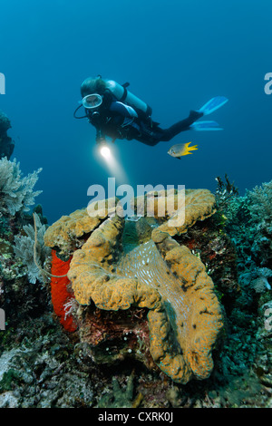 Female diver looking at a giant clam (Tridacna gigas) on a coral reef, Great Barrier Reef, a UNESCO World Heritage - Stock Photo