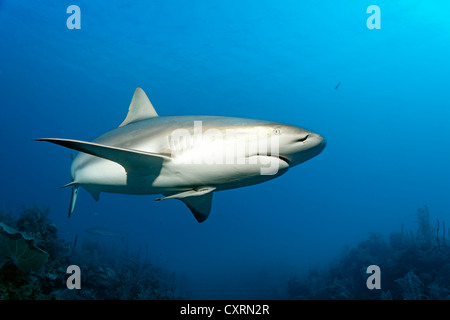 Caribbean reef shark (Carcharhinus perezi), swimming in open water above a coral reef, Republic of Cuba, Caribbean - Stock Photo