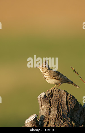 Crested lark (Galerida cristata), northern Bulgaria, Bulgaria, Europe - Stock Photo